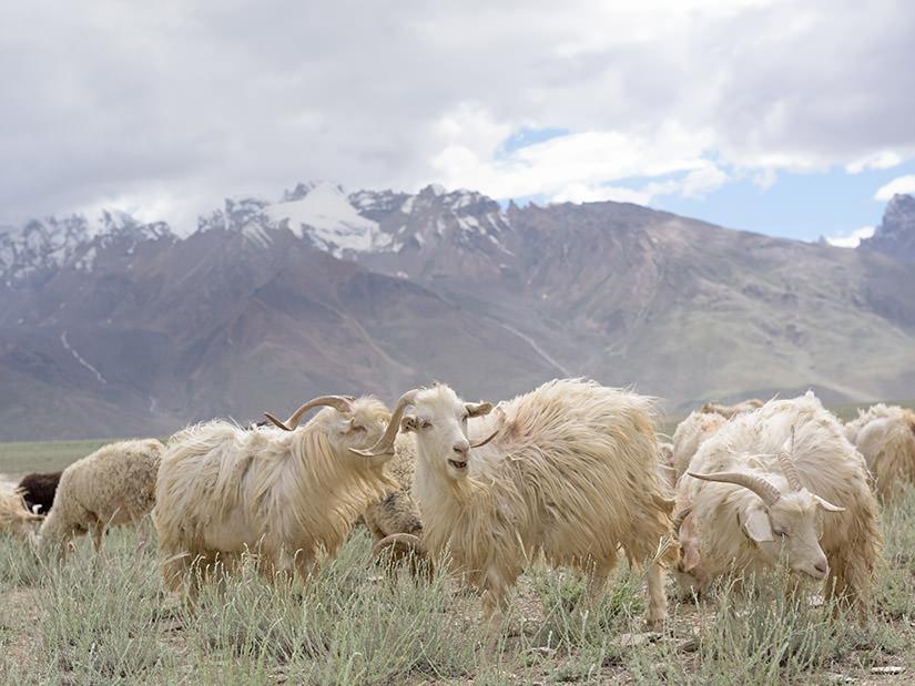 羊絨跟Wool羊毛有什麼不同?