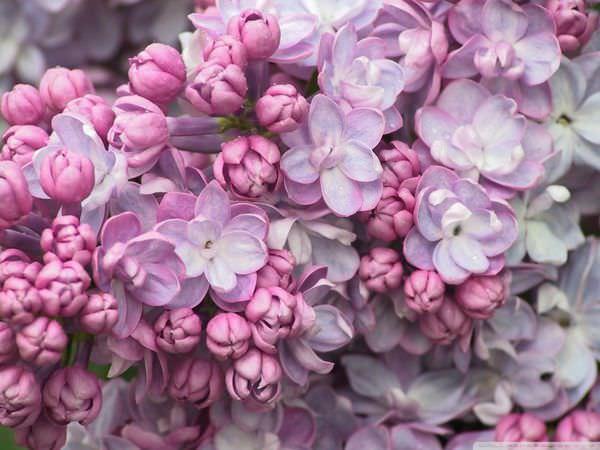 Pink_Lilac_Close_Up-Wallpaper-1024X768 (1)